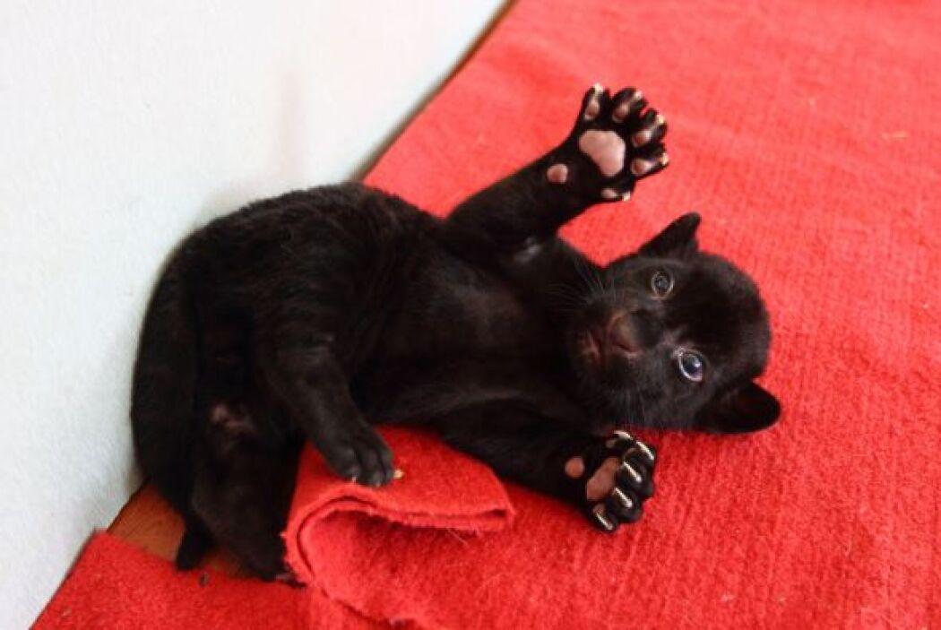 Este adorable tigre negro posa para la cámara con una maestría que asomb...