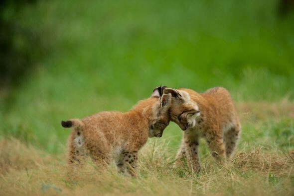 Pero estos bebés son muy pequeños para cazar y prefieren ocupar su día p...