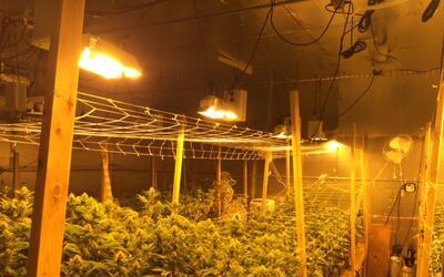 Agentes del LASD incautaron un cultivo ilegal cuyo valor se estim&oacute...