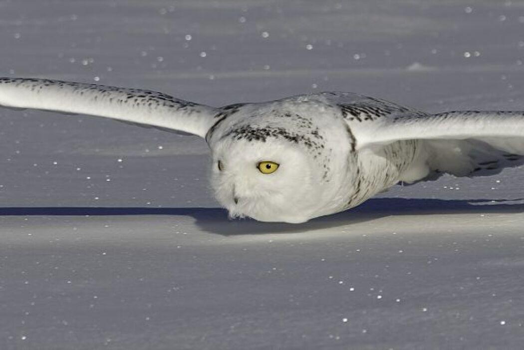 La magnífica ave se camuflajea con el entorno para pasar desapercibida.