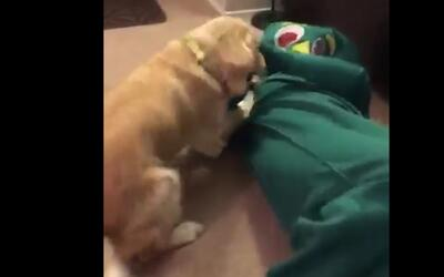 Así reacciona un perro cuando su dueño aparece disfrazado de su juguete...
