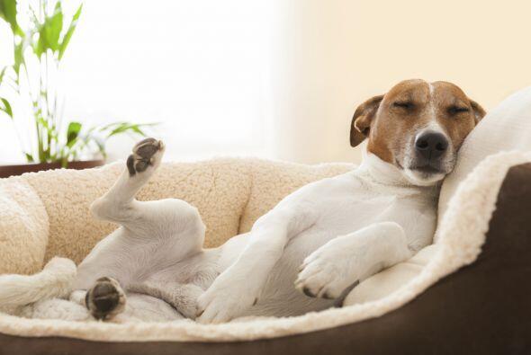 Otra curiosidad de los perros cuando duermen es que lanzan gruñidos o mu...