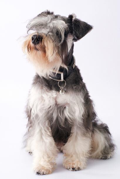 Schnauzer miniatura. Estos perros robustos podrían vivir entre 12...