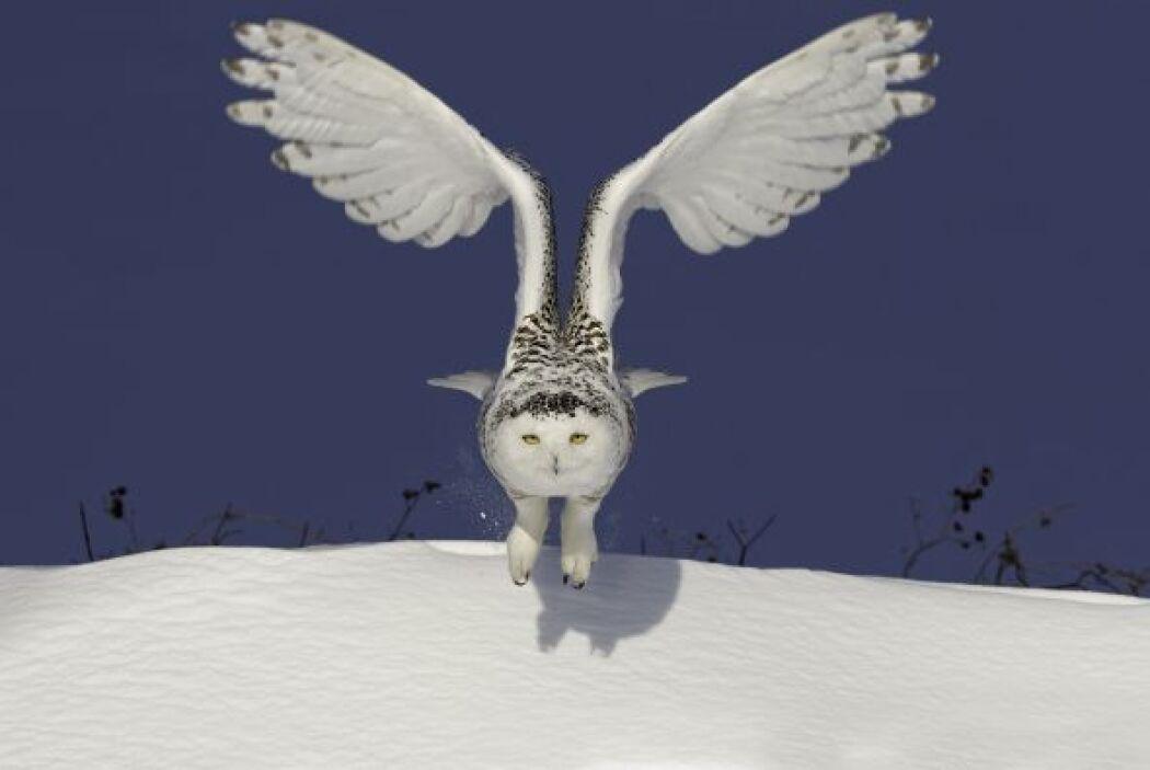 El búho nival vuela cerca de la nieve en su búsqueda de algo para comer.