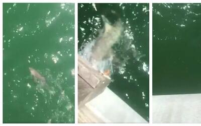 Pescador atrapa a tiburón de dos pies y este es devorado por otro 4 vece...