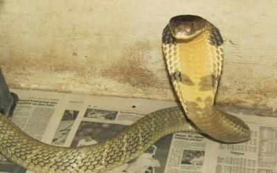 Cobra real