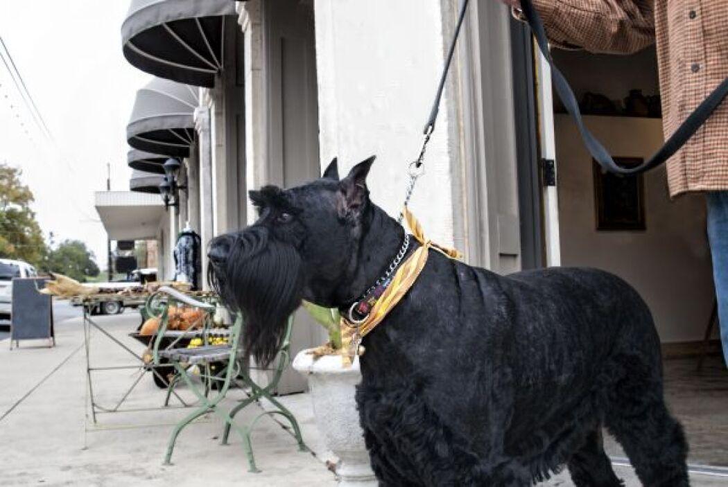 Schnauzer gigante: Un perro con apariencia imponentey algo difícil de en...