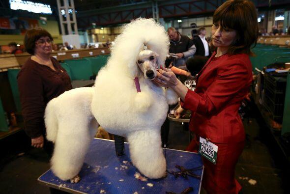Este poodle estandar voltea con gracia para que terminen de peinarlo.