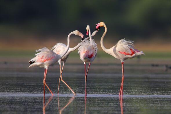 El flamingo joven enfrenta al adulto y ambos buscan demostrar su poder.