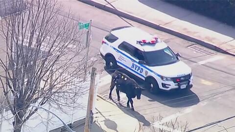 Un toro que iba a ser sacrificado se escapó y causó caos en el área de J...