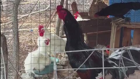 Un gallo mató del susto a un niño en México