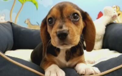 Pareja hispana habría comprado cachorro beagle de 1,200 dólares con tarj...