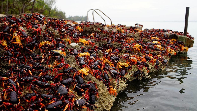 Una alfombra de cangrejos cubre el sur de Cuba