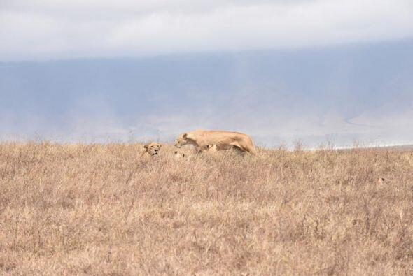 A lo lejos, una tierna familia de leones.