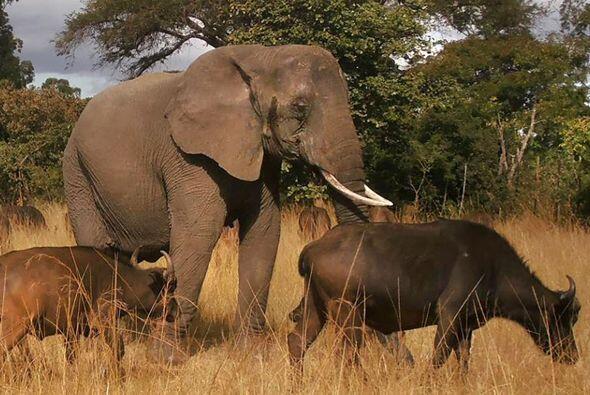 Los elefantes, quizá son los animales con mejor memoria de todo e...