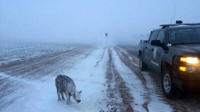 Un becerro fue encontrado totalmente congelado en el oeste de Texas