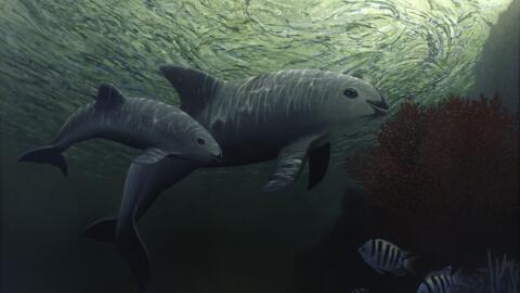 Por qué el plan actual para salvar a la vaquita marina de la extinción n...