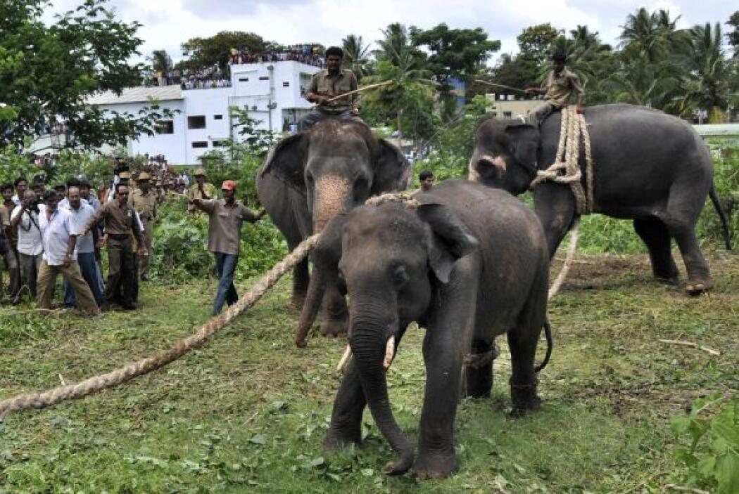 Antes, cuatro elefantes habían entrado en algunos campos ubicados a las...