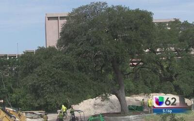Mudan árboles de la Universidad de Texas