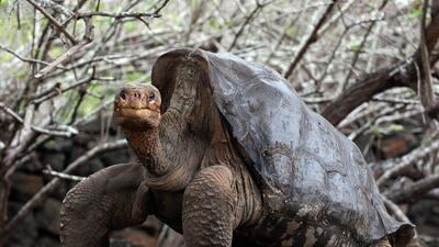 Científicos buscan revivir al Solitario George, la gigantesca tortuga de...
