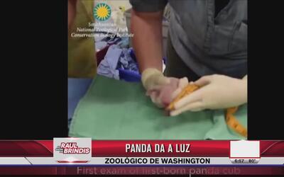 Nacieron dos pandas en el zoológico de Washington