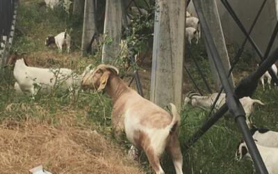 Usan cabras para remover las hierbas y fertilizar terrenos en Los Ángeles