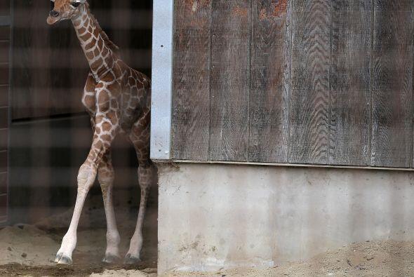 Los bebés jirafa son capaces de ponerse en pie sólo 30 min...