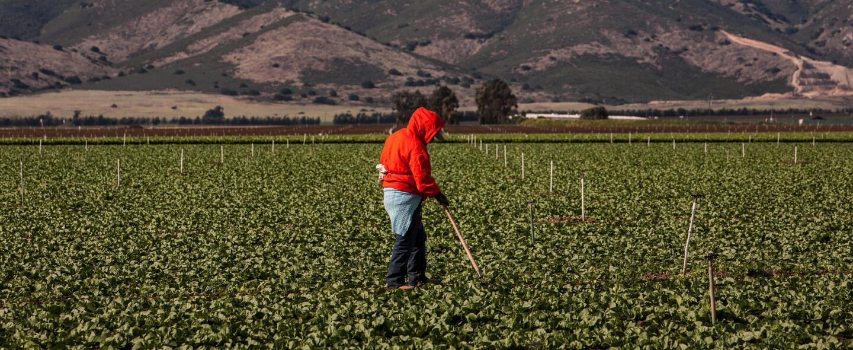 La escasez de trabajadores está en un punto crítico, dicen los agriculto...
