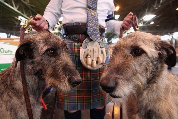 Lobero Irlandés: Aquí tenemos al perro corredor. Es un canino enorme per...