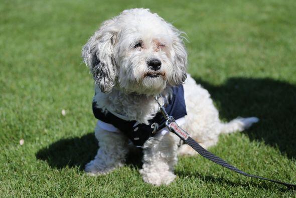 Un perro calljero, mascota de los Brewers