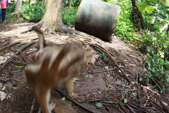 A este pequeño mono coleta de Indonesia no le gusta que le tomen...