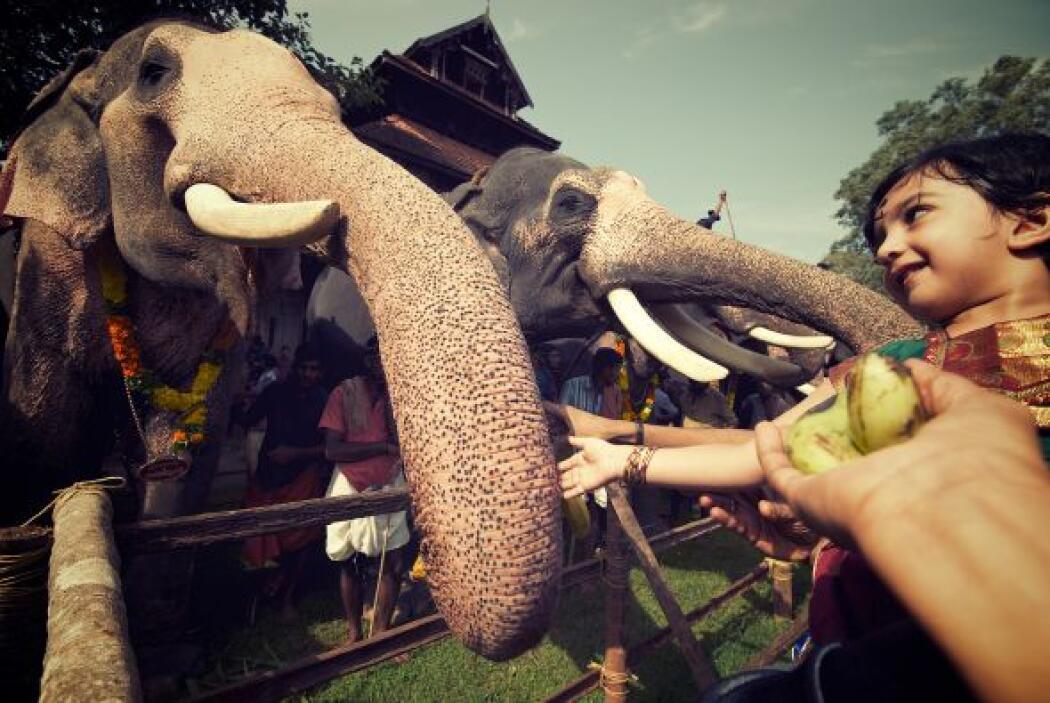 Para ellos alimentar a los elefantes es una forma de protección para la...