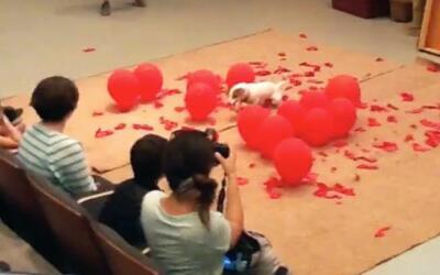 Un perro ha estallado 100 globos para imponer nuevo récord Guinness