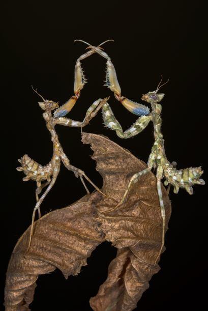 Dos mantis se cruzaron en el camino mientras intentaban cruzar la misma...