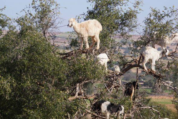 Estas cabras no crecen en los árboles, pero sí pasan mucho...