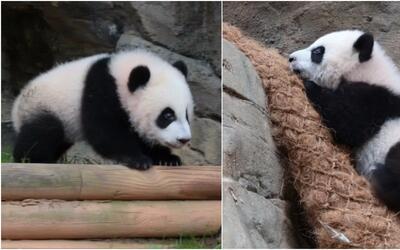 El primer paseo de las pandas mellizas del Zoológico de Atlanta