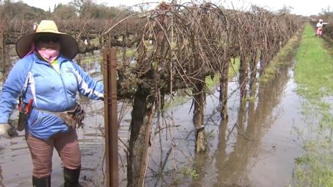 Sixta Delgado trabaja en uno de los viñedos inundados por las recientes...
