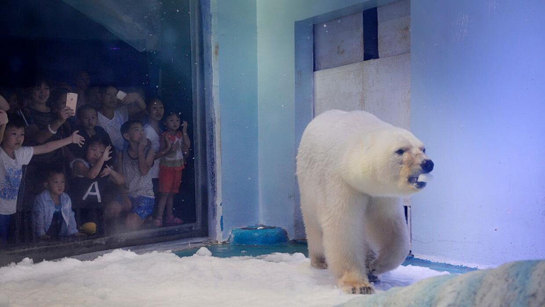 """El oso polar más triste del mundo muestra """"signos de deterioro mental"""""""