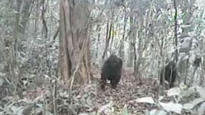 Captaron imágenes de gorilas del río Cross. (Imagen tomada de YouTube).