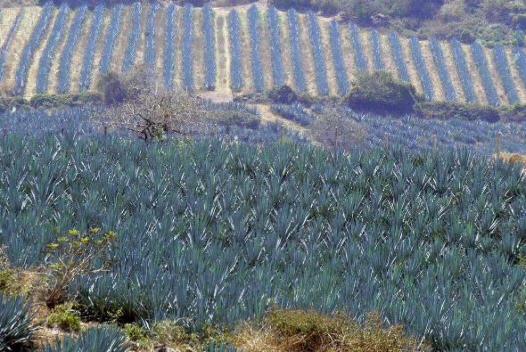 El paisaje de agaves y antiguas instalaciones industriales de tequila so...