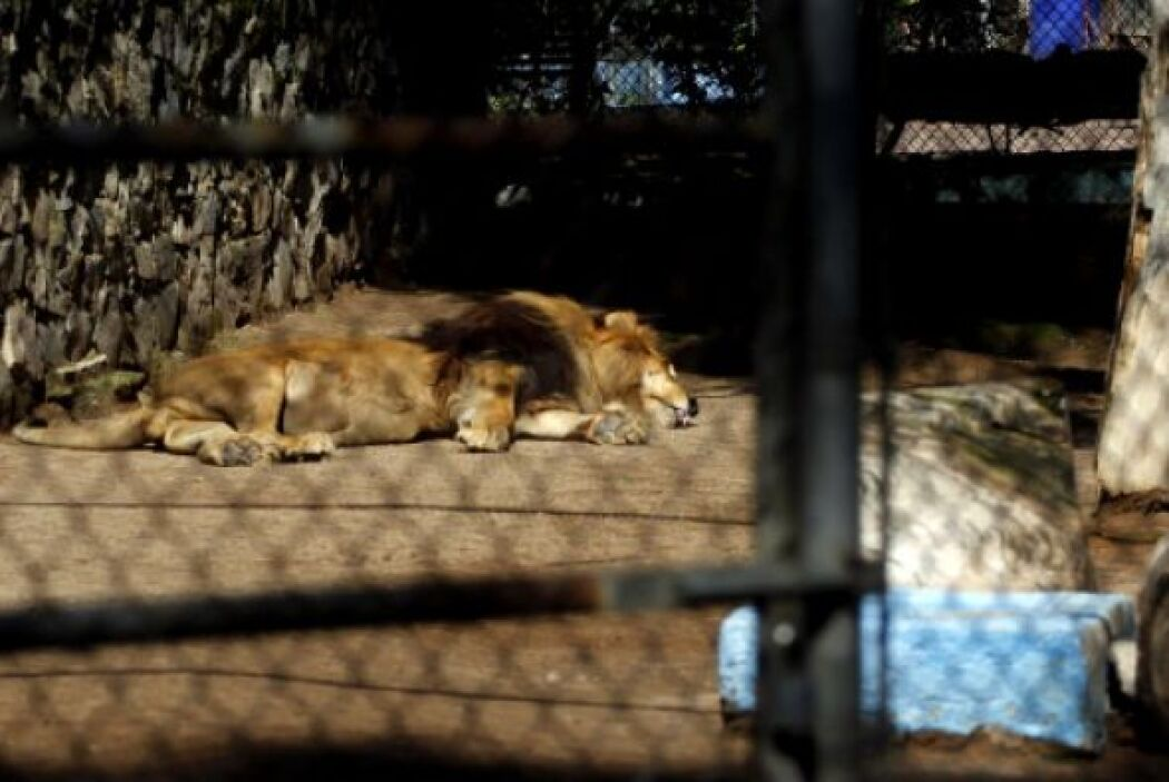 Recordemos que en 1993 las autoridades le decomisaron un zoológico en su...