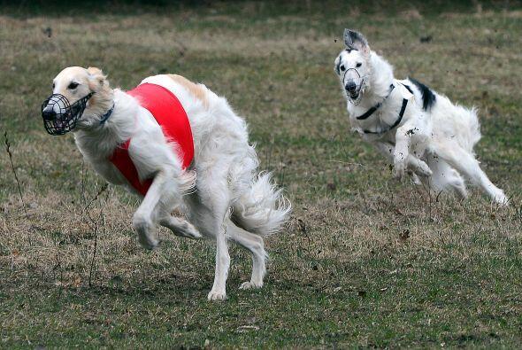 Borzoi: Según los expertos de Pedigree, el Borzoi es el perro ide...