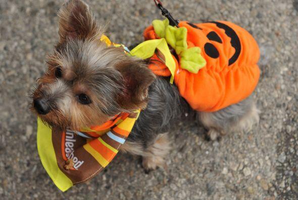 Los trajes de calabaza no van a escasear pues los hay para los perros de...