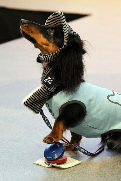 Este perro de raza Daschshund tocó las castañas como parte de su acto.