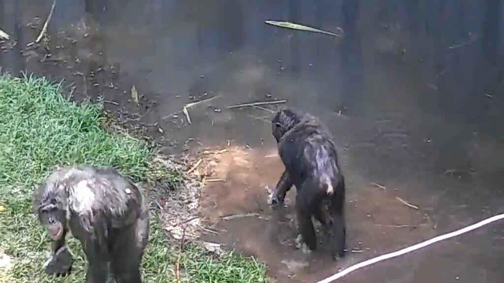 Un chimpancé lanza un ladrillo a una familia en un zoológico de Florida