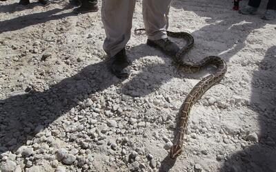 Jardinero por poco fallece luego de ser mordido por una serpiente en Mir...