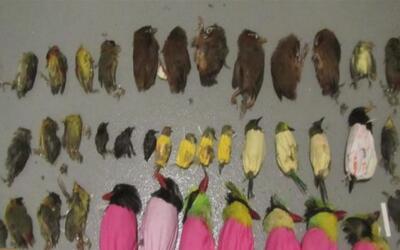 Encuentran pájaros de contrabando muertos en la maleta de un ciudadano v...
