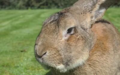 """La aerolínea United sufre otra """"turbulencia"""": un conejo gigante murió en..."""