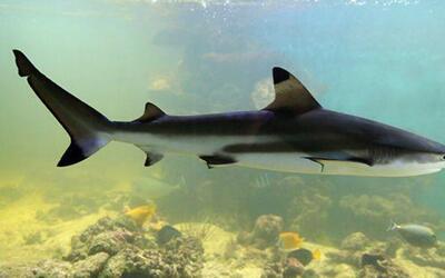 ¿Son realmente efectivas las pastillas de cartílago de tiburón?