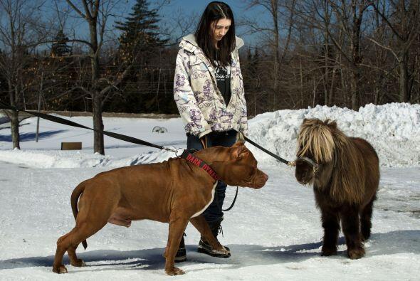 Este peculiar pitbull con 17 meses, pesa 168 libras y aún sigue creciendo.